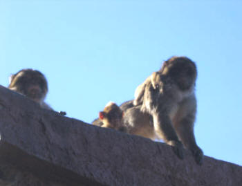 Gibraltar Macques