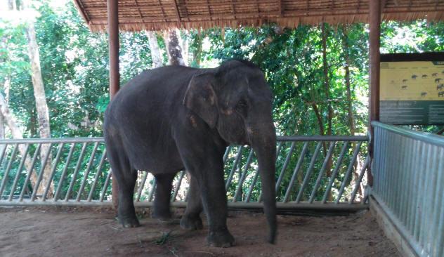 8 year old elephant