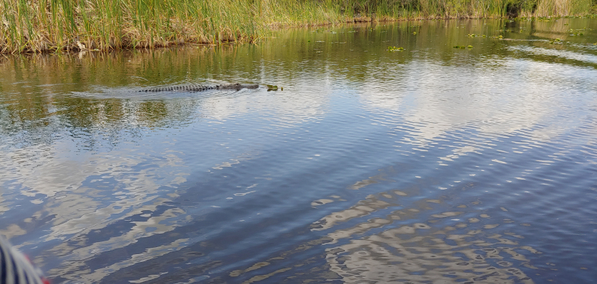 Alligator in the everglades