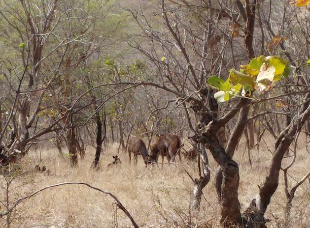Rhanthambore Antelopes
