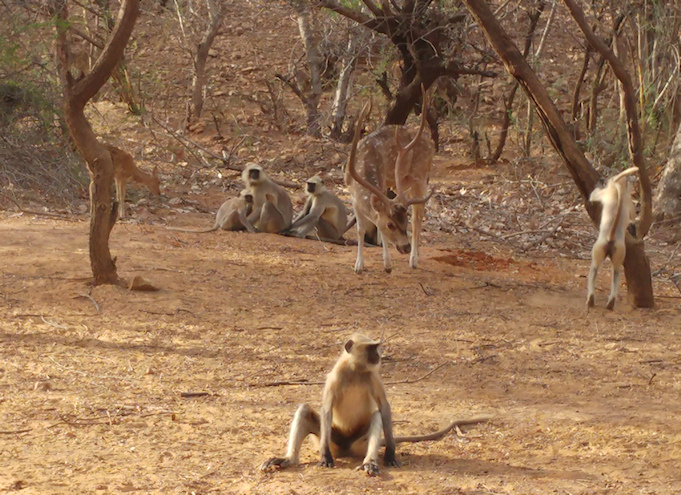 Rhanthambore Monkeys