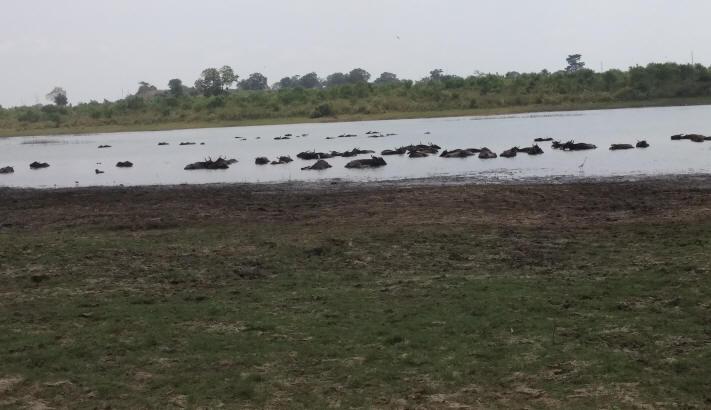 Water Buffalo Udawalawe Park