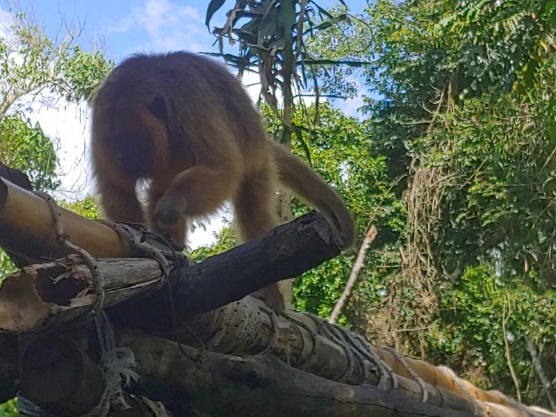 Rescued Ape